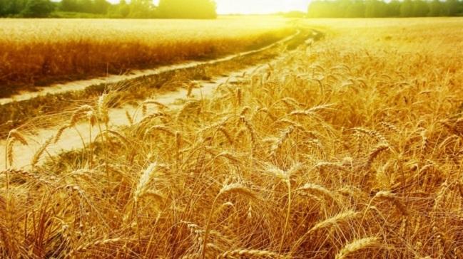 Крымчане собрали урожай более чем с 99% посевных площадей