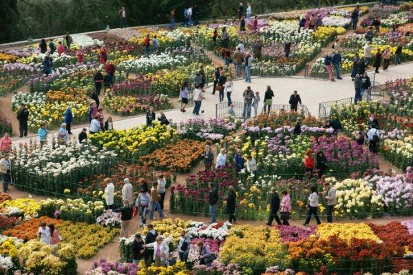 Посетителей Бала хризантем в Никитском ботсаду встретит «цветок» в 773 квадратных метра