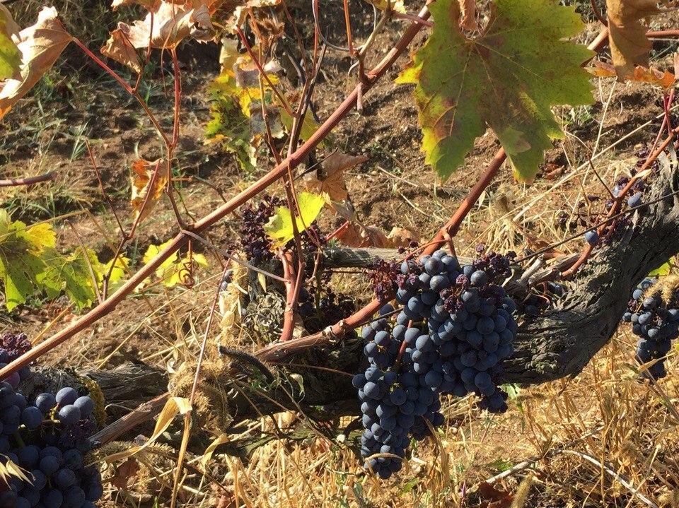 От лозы до прилавков: как в Севастополе собирают урожай винограда?- видео
