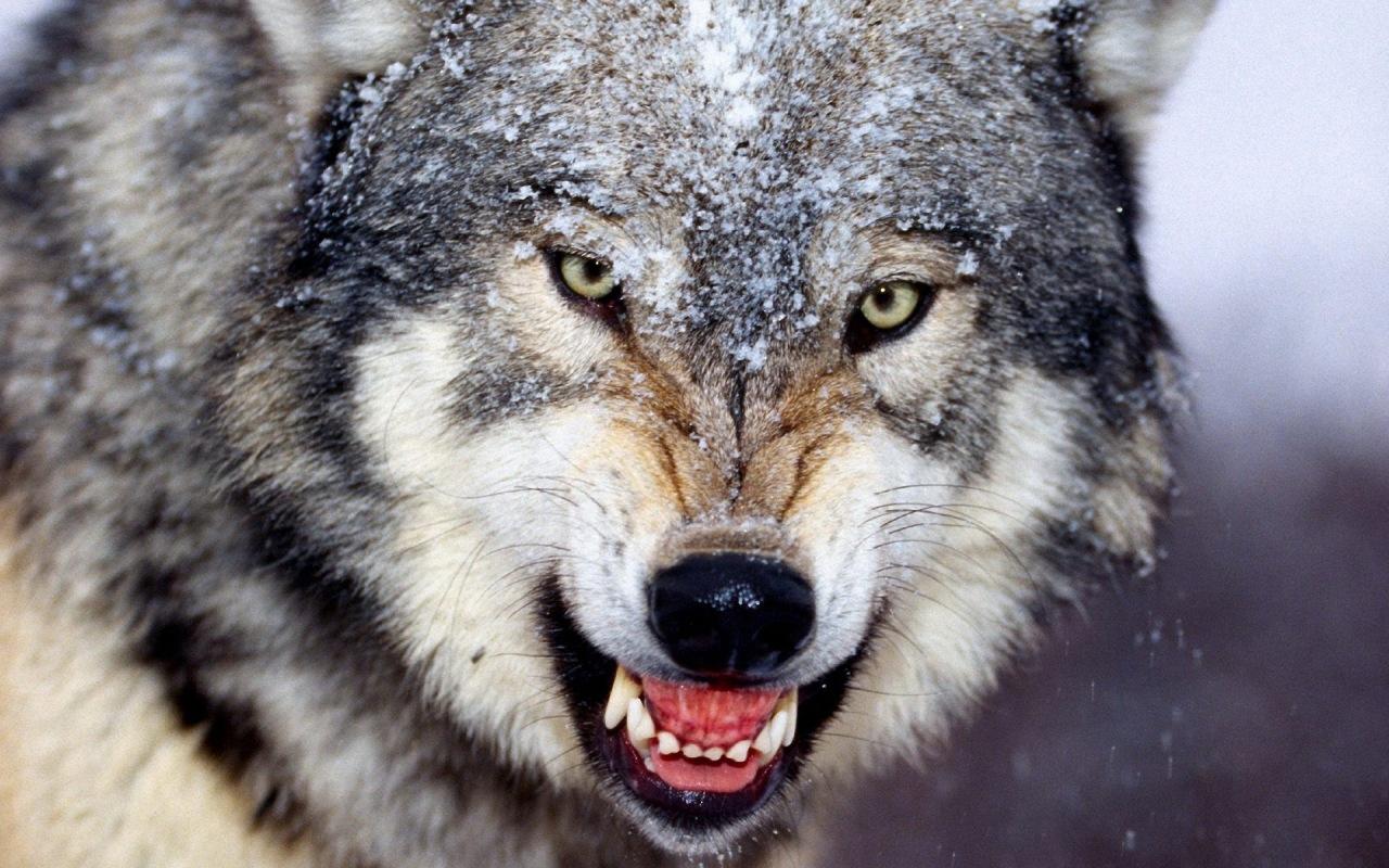 В Крыму ввели карантин из-за бешенства волка