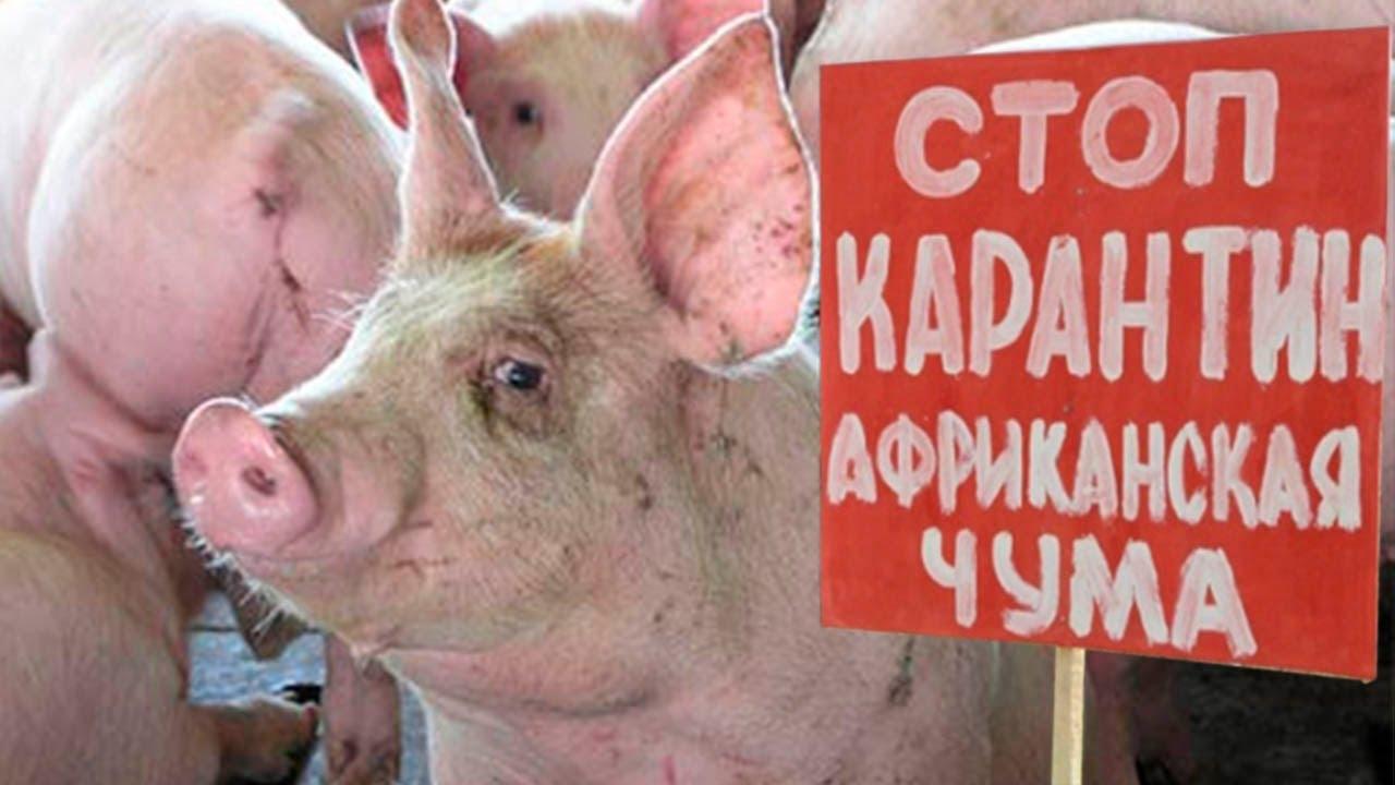 В Крыму найден труп свиньи с вирусом АЧС