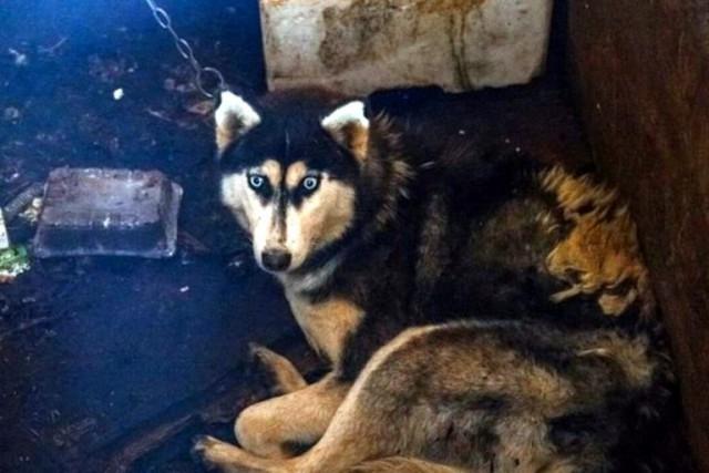 В заброшенном деревенском коровнике под Тверью нашли 160 умирающих хаски