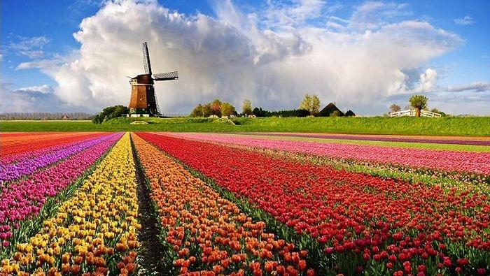 В апреле в Никитском ботсаду откроется выставка тюльпанов: она станет в два раза больше