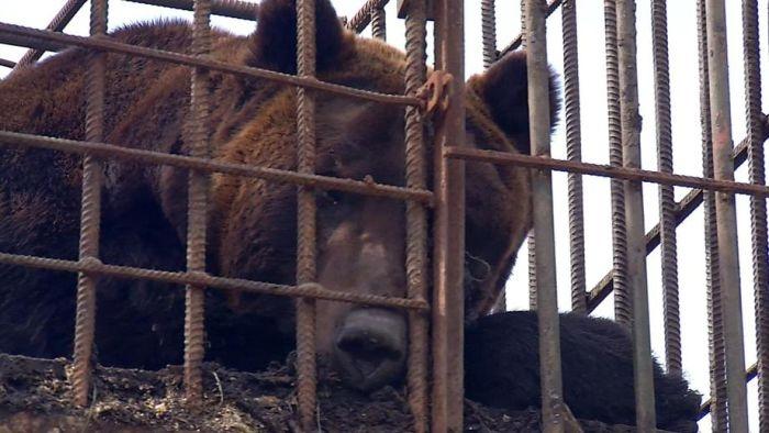 В крымский приют привезут медведя с тяжёлой судьбой: животное использовали для тренировки боевых собак