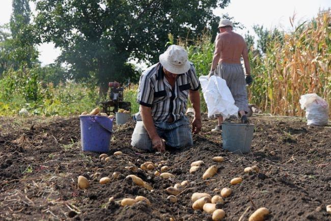 Украина выпустит монету в честь копания картошки