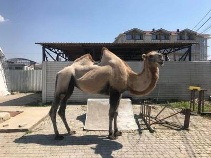 В Коктебеле задержали верблюда без документов