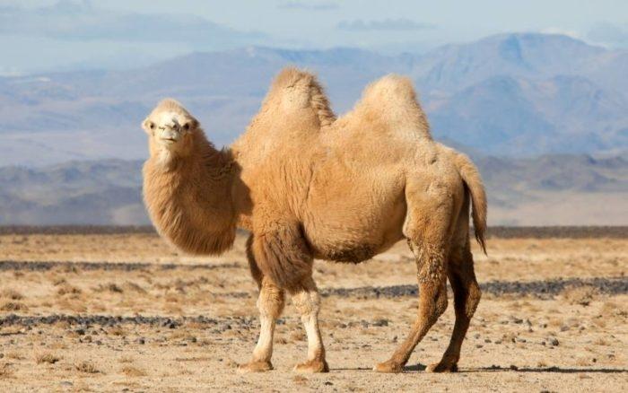 Российский путешественник Конюхов анонсирует поход по Крыму на верблюдах