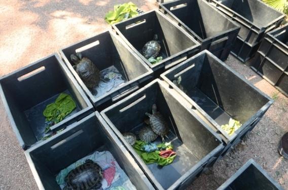 Черепах из пруда «Муссона» перевезли в Никитский ботанический сад