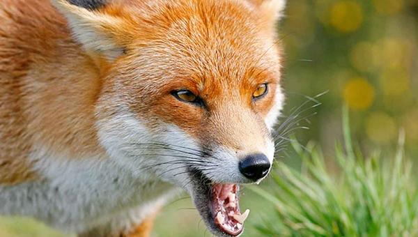 Дом жителя Судака закрыли на карантин до сентября из-за взбесившейся лисы