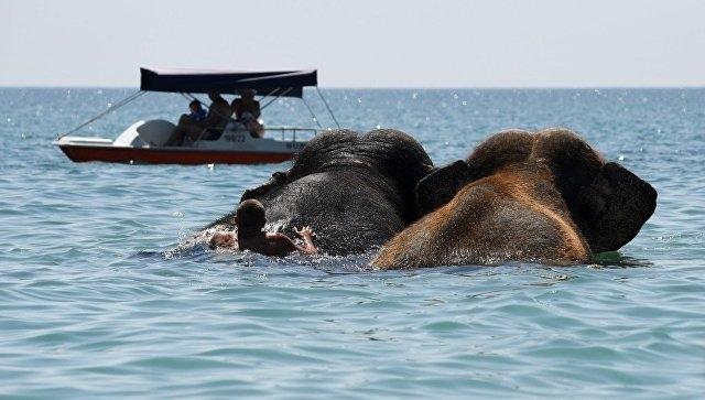 Как в Евпатории купают слонов в море