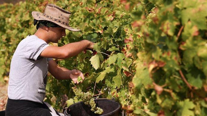 Виноградные плантации Крыма увеличились в три раза