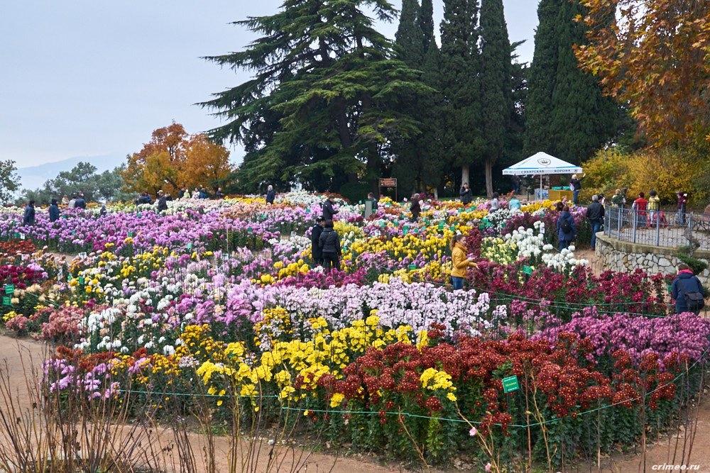 В Никитском ботаническом саду начали подготовку «Бала хризантем»