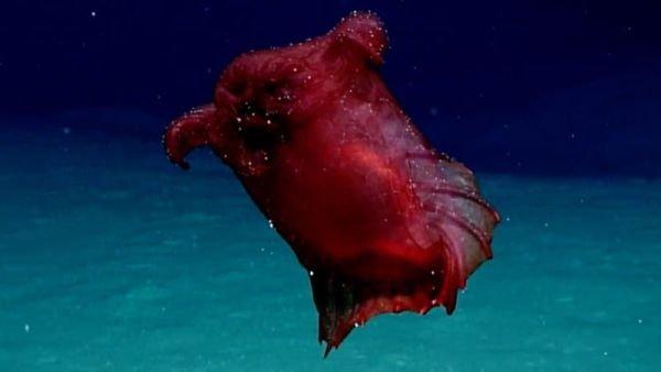 В Тихом океане впервые сфотографировали «безголового куриного монстра»