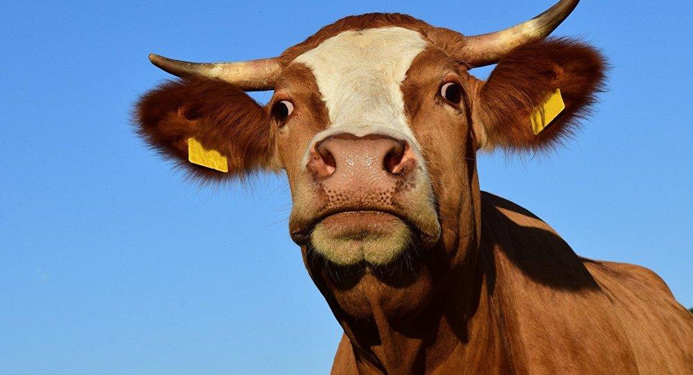 В Севастополе на проезжей части разгуливает корова
