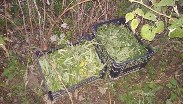 У жителя Крыма изъяли 2,5 килограмма конопли