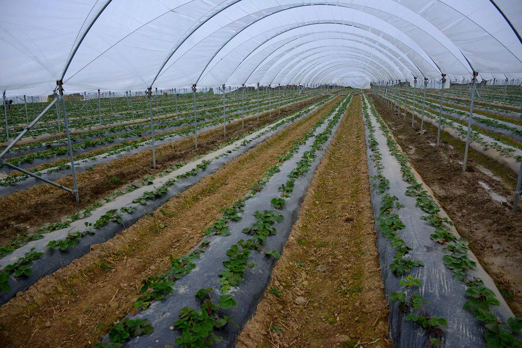 Капельное орошение позволит АО «Артвин» увеличить урожай клубники и земляники