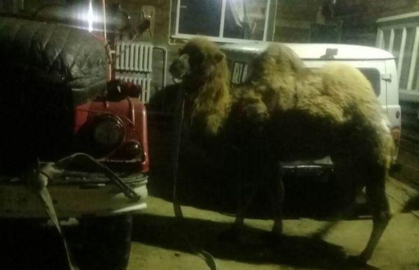 В России на 40-градусном морозе спасали попавшего в ДТП верблюда