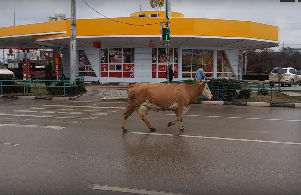 Севастопольская корова гуляла прямо по проезжей части (видео)