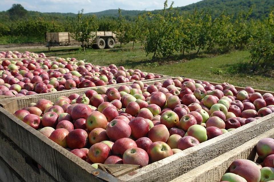 В Крыму собрали рекордный урожай яблок