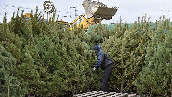 На растопку и удобрение: в Крыму новогоднюю елку можно будет сдать в спецпункт