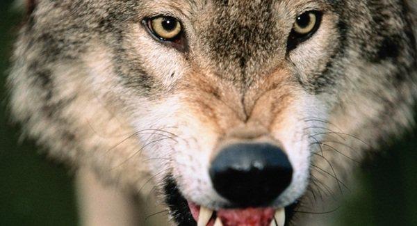В Крыму нашли бешеных волков, лисиц, куниц и собак