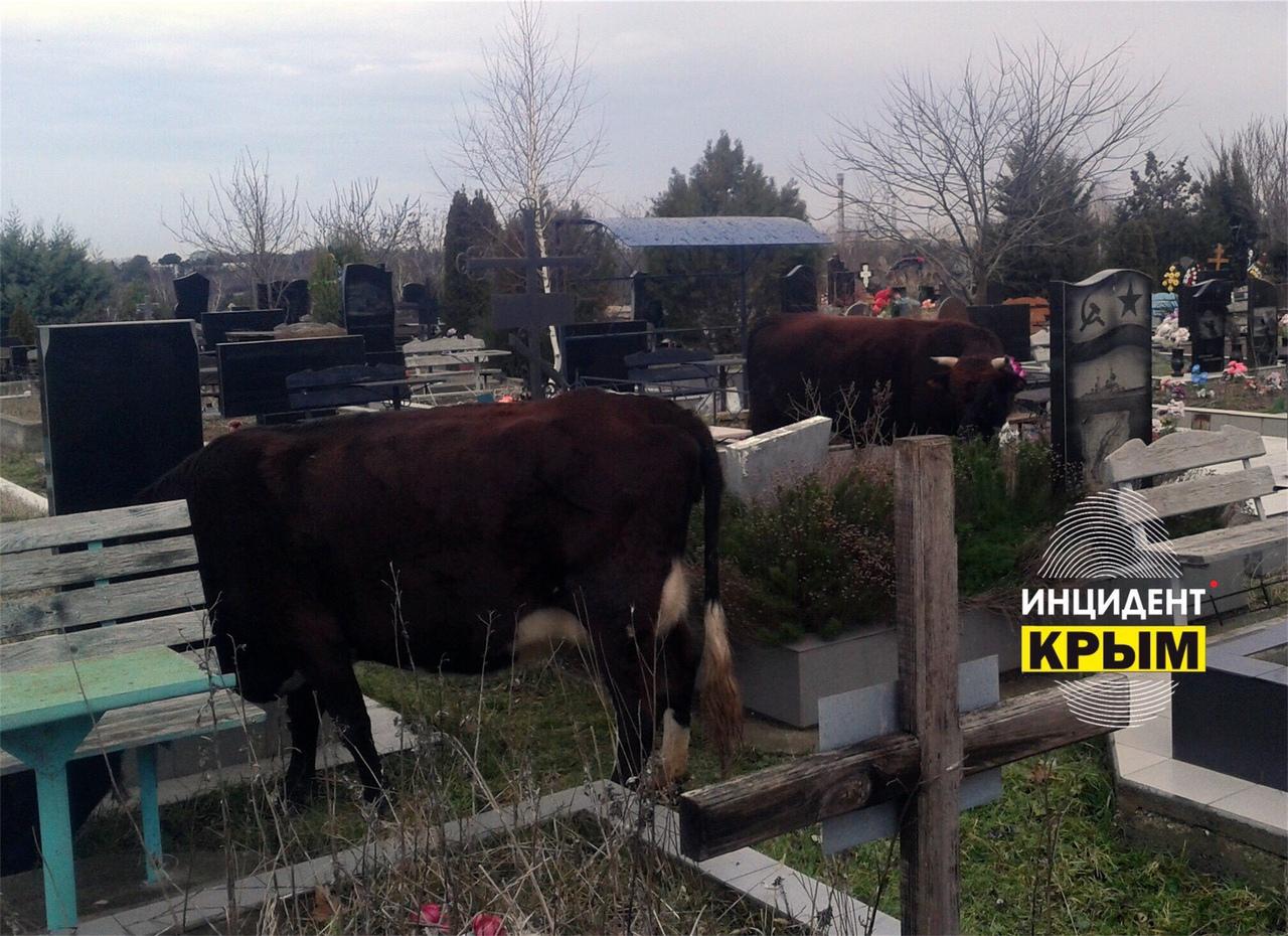На могилах в Севастополе пасутся коровы