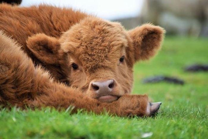 В парке миниатюр Бахчисарая родилась шотландская коровка