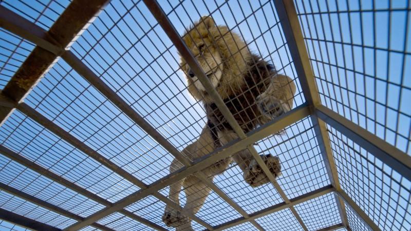 Посетители сафари-парка сняли, как львы растерзали парня, прыгнувшего за ограду