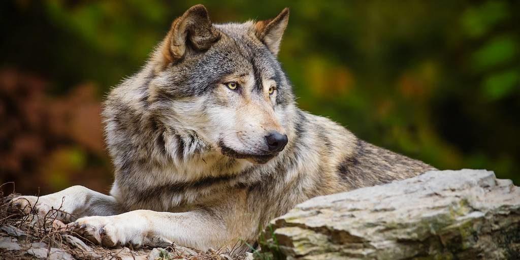 В Крыму объявили охоту на волков