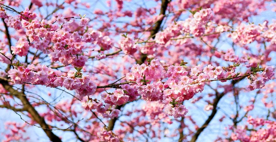 В парке имени Айвазовского зацвела японская сакура