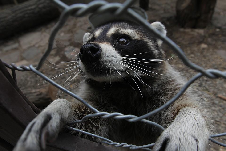«На дереве висит-качается»: в Севастополе ловят сбежавшего енота Федю