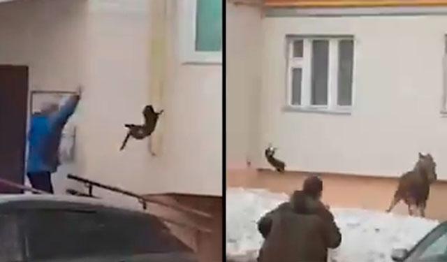 В Башкирии женщина прогнала лося броском кота