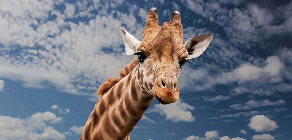 Более 300 тысяч человек наблюдали онлайн за рождением жирафенка