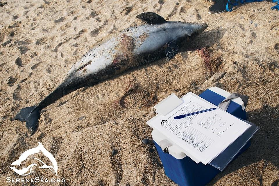 В Крыму на берегу обнаружили 16 погибших дельфинов
