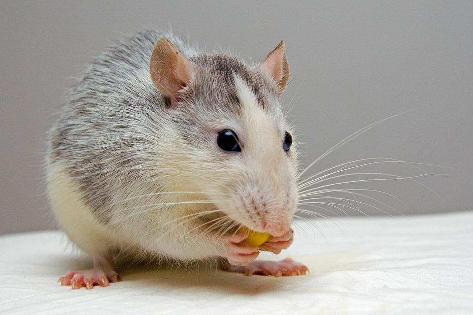 Американские ученые создали «переводчик» с крысиного
