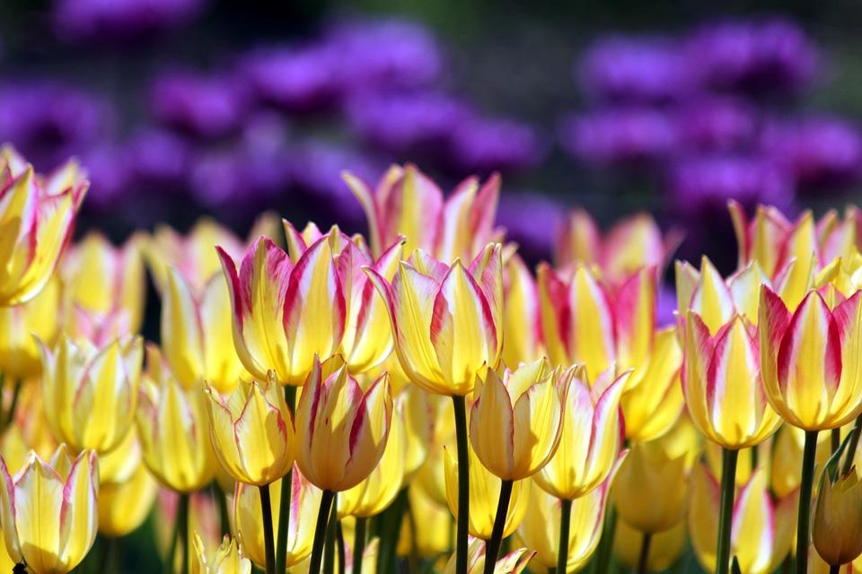 В Севастополе расцветут 300 тысяч весенних цветов