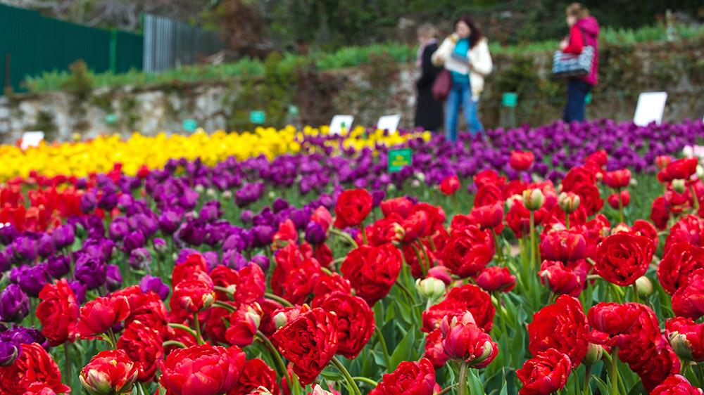 С цветочных клумб в центре Ялты массово воруют высаженные тюльпаны