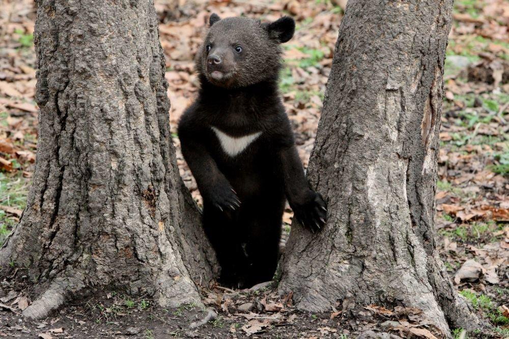 В Приморье полицейские нашли коробку с гималайским медвежонком
