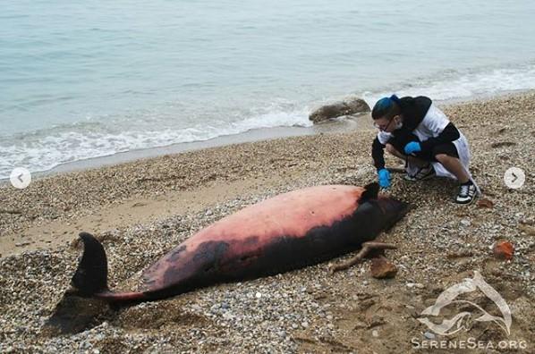 У берегов Севастополя нашли двадцать погибших дельфинов