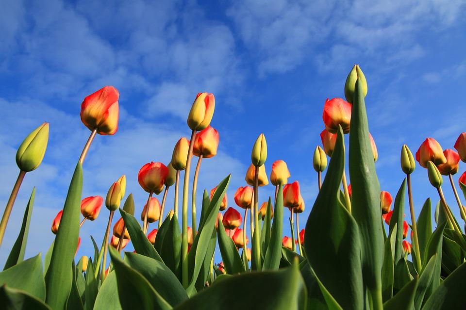 В Никитском ботсаду вырастили композицию из тюльпанов в виде павлинов