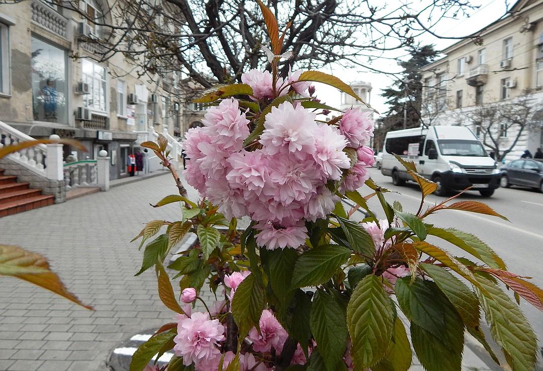 В центре Севастополя цветет сакура