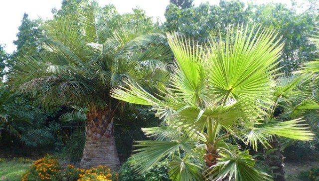 Уже поражено 80%: пальмы на ЮБК могут полностью исчезнуть