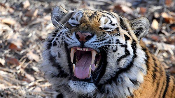 «Зато какой носик!». В Приморье тигр обманул фотоловушку и сделал необычное селфи