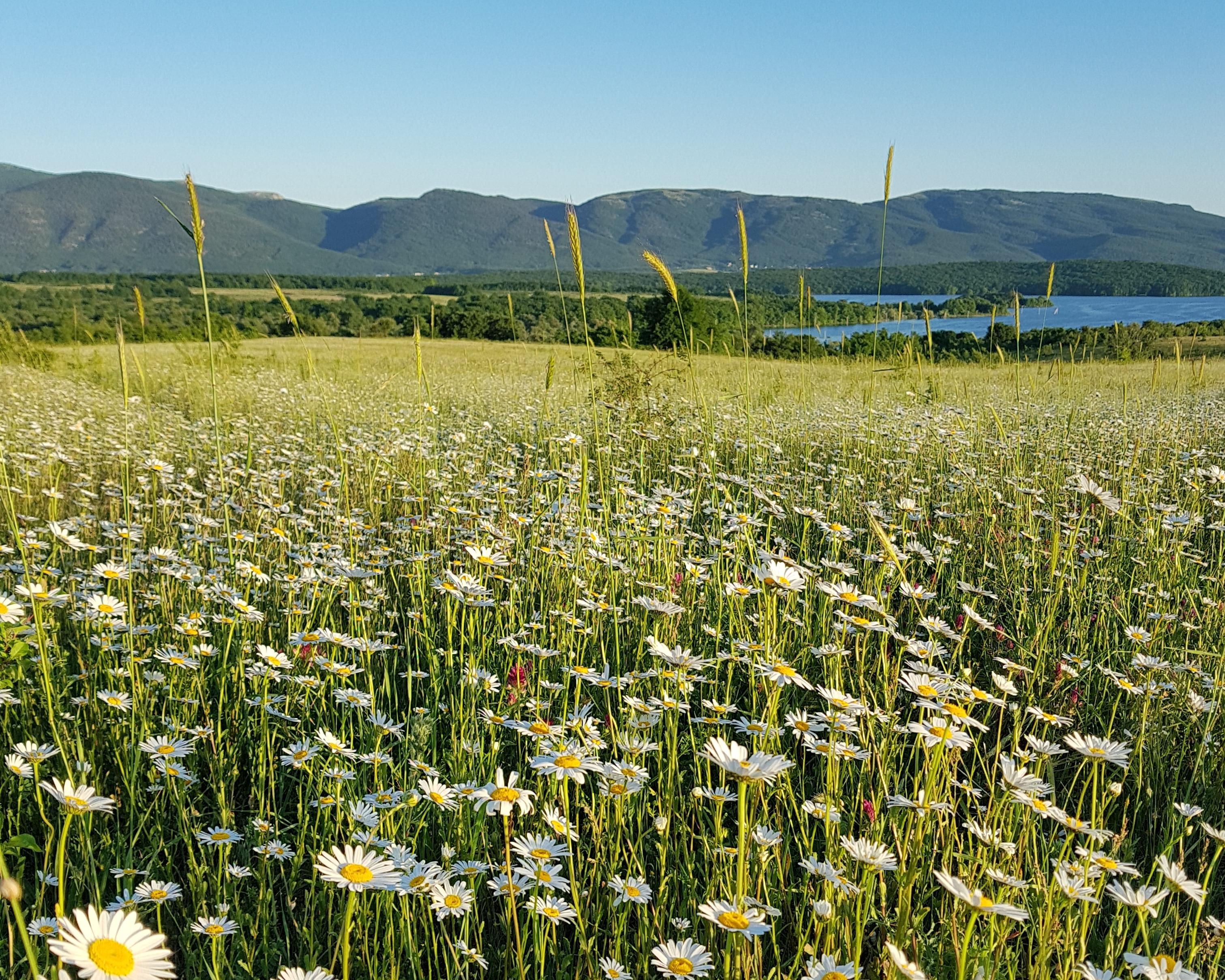 Блог путешественника по Крыму: ромашковые поля в Байдарской долине