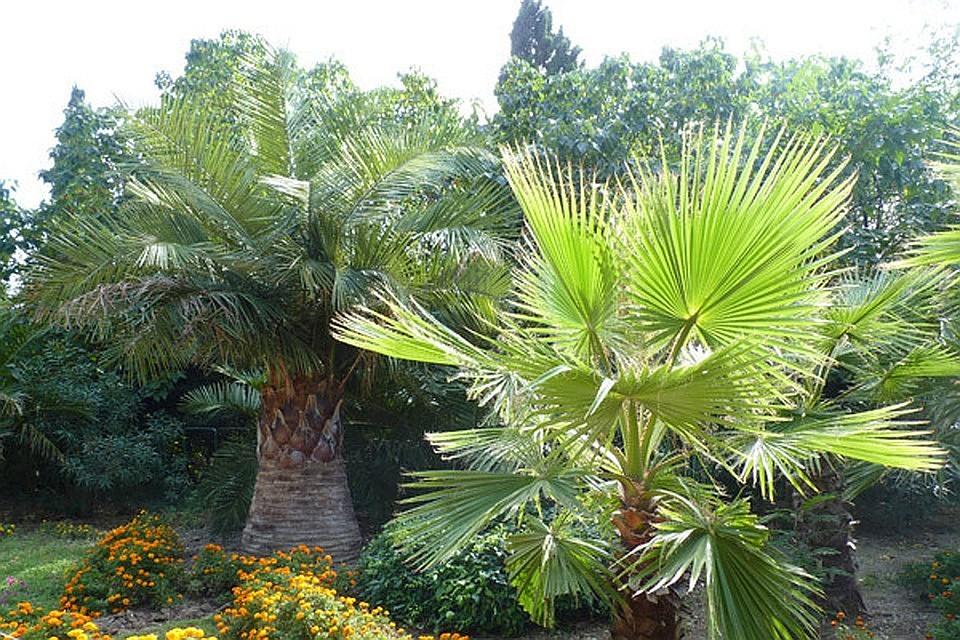 «Нужно начинать борьбу!»: Ялта может полностью лишиться пальм