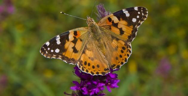 В Крыму обеспокоены нашествием бабочек-репейниц