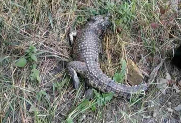 В Крыму возле школы обнаружили живого крокодила