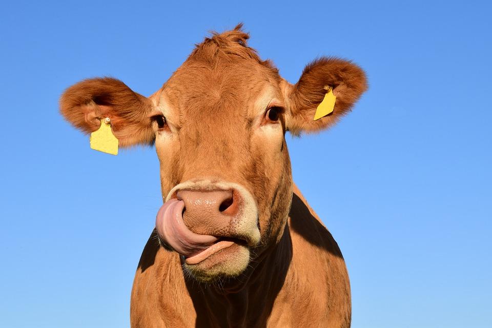В Крыму зафиксирован случай бешенства крупного рогатого скота