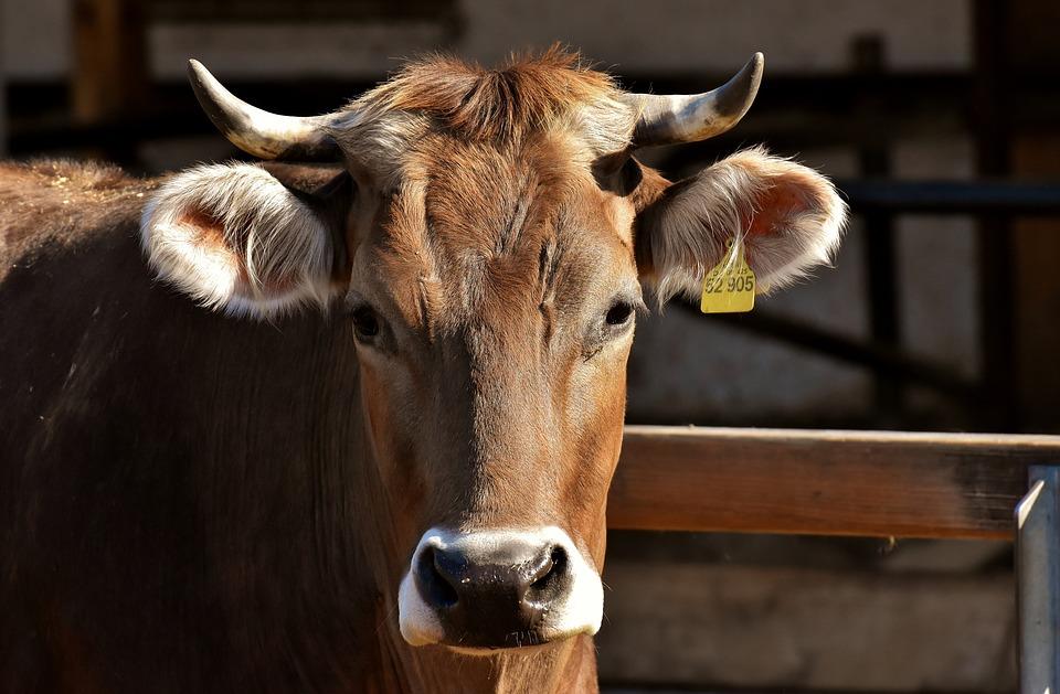 В Севастополе мужчина умер после удара коровы