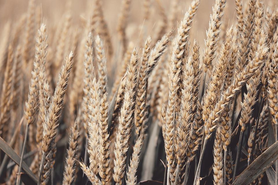 В Крыму сгорело 80 гектаров пшеницы